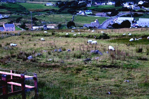 Discovery: Sheep graze contentedly on Caiseal Hill by the newly discovered Bronze Age stone circle overlooking the valley of Gleann Cholm Cille